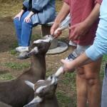 feeding-goat-kids