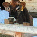Cat's cow-share cow