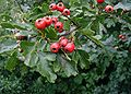 Hawthorn leaves & fruit