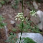 Osha leaves & flowers (wikipedia)