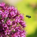 POD_070809a-Sweat Bee on Allium
