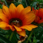 POD_070809b-Sweat Bee