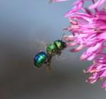 POD_070809c-Sweat Bee on Allium, cropped