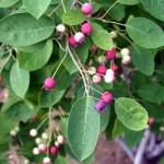Serviceberry fruit