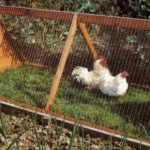 Chicken Tractor (from The City Chicken)