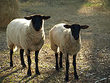 220px-Suffolk Sheep