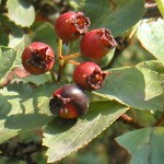 Ripening Hawthorn Berries (C. Haug photo)