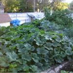 D. Bates Squash Garden in August