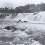 Salmon leaping at Willamette Falls, Oregon City, OR