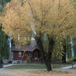 Willow shade trees, Bayside Cabins in Bigfork