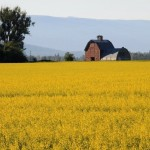 Canola Field in Lower Valley, Bigfork MT
